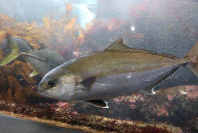 伊東市伊豆高原の晩夏の海鮮グルメはカンパチがおすすめ!